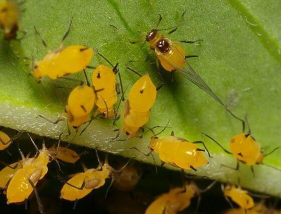 Pulg n amarillo una amenaza para ciclo tard o en - Pulgon en plantas ...